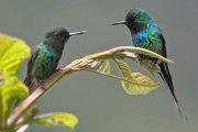 Rabudito verde (Green Thorntail)