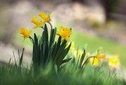 Ramillete de Narcisos