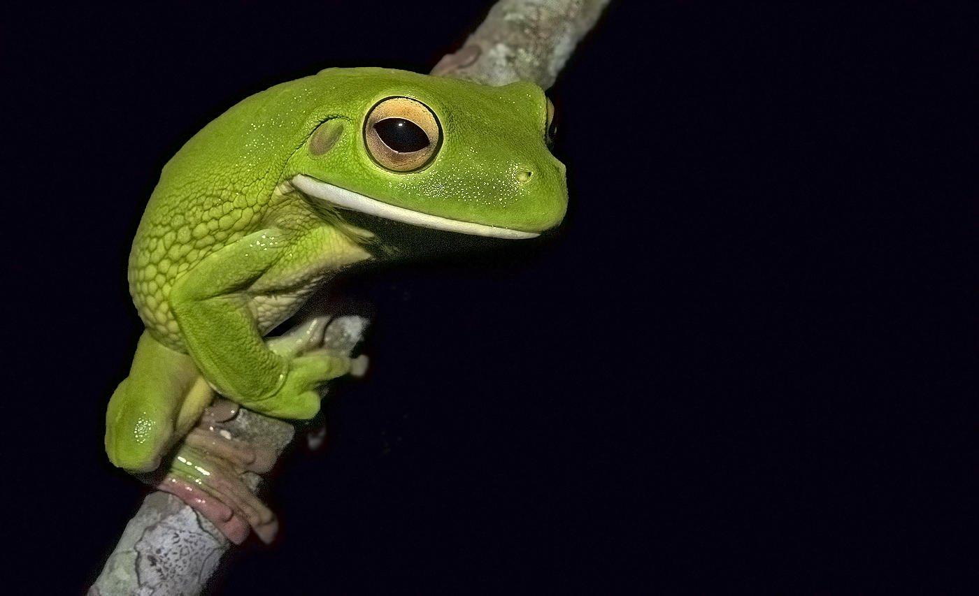 Rana arborícola gigante (White-lipped Tree Frog) (Salvador Solé Soriano)
