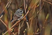 Reinita coronada (Yellow-rumped Warbler)