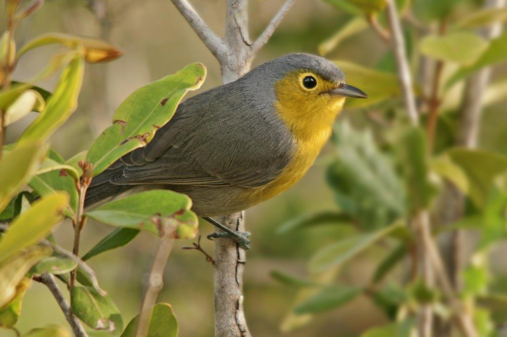Reinita de Oriente (Oriente Warbler)  (Salvador Solé Soriano)