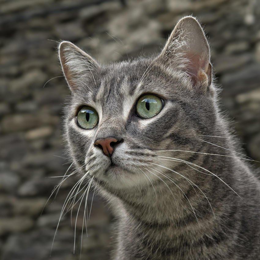 Retrato de gato (Salvador Solé Soriano)