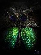 Retrato de una mirada (Phidippus regius)