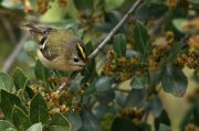 Reyezuelo sencillo (Goldencrest)