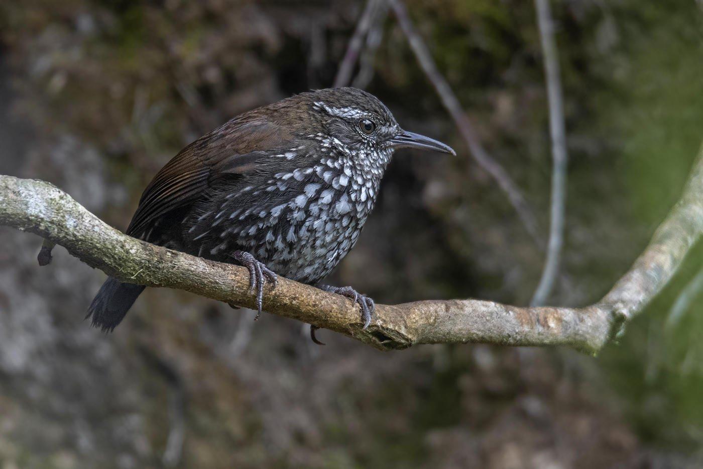 Riachuelero (Sharp-tailed Streamcreeper) (Salvador Solé Soriano)