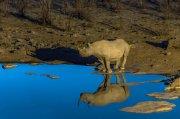 rinoceronte negro en charca azul