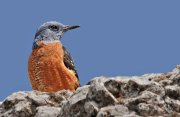 Roquero rojo (Common Rock-thrush)