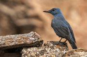 Roquero solitario (Blue Rock-thrush)