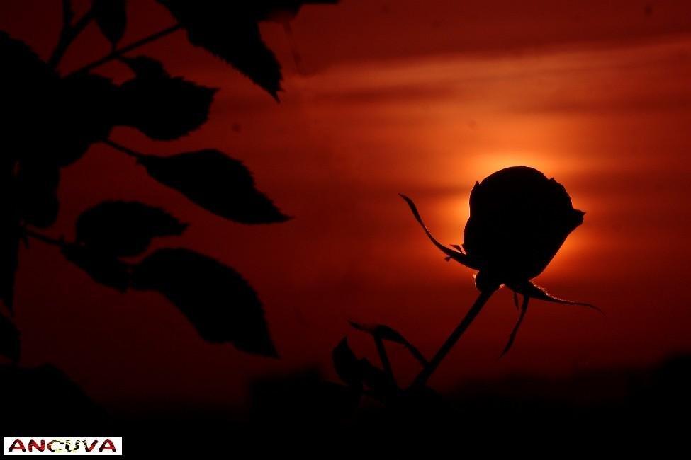 rosa al amanecer, (Antonio Cuenca.   vaya)