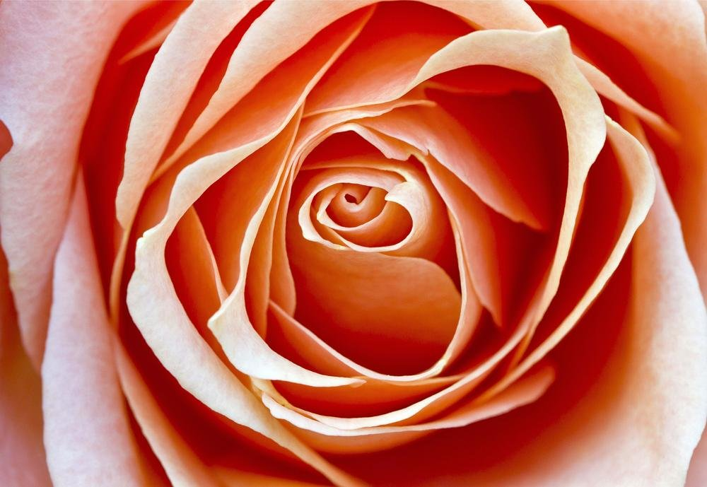 Rosa Rosae (Agus eKdBDN)