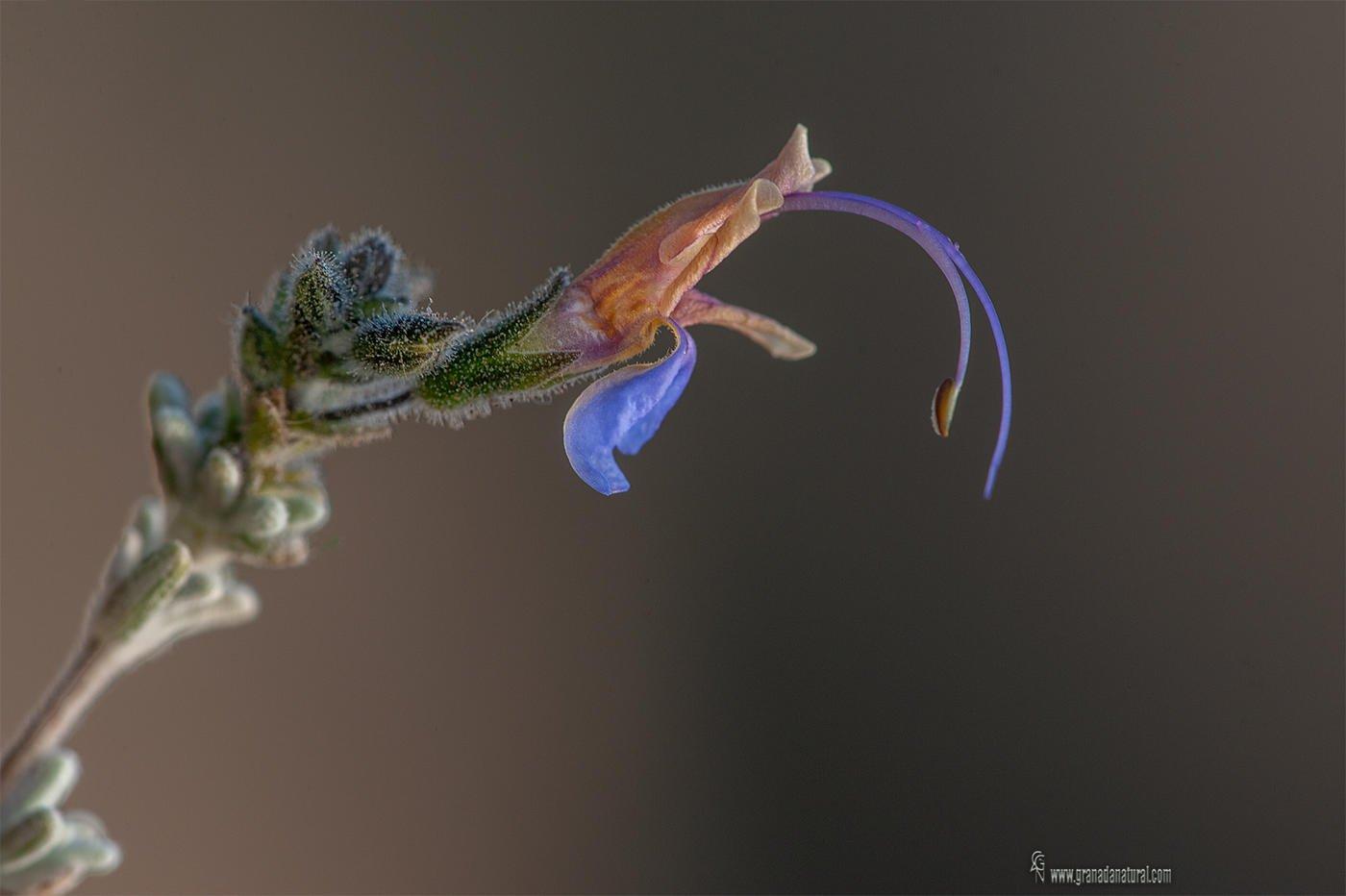 Rosmarinus tomentosus / Romero blanco. (Lucas Gutierrez Jiménez)
