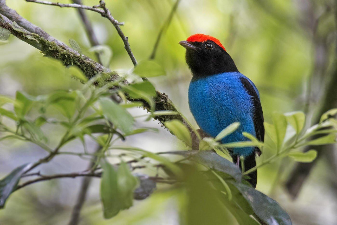 Saltarín azul (Swallow-tailed Manakin) (Salvador Solé Soriano)