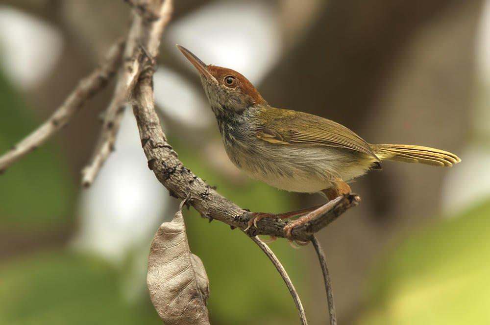 Sastrecillo cuellinegro (Dark-necked Tailorbird)