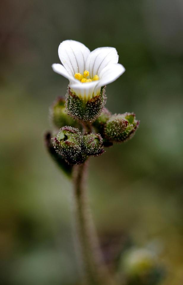 Saxifraga granulata (Pepi Sánchez Sabater)