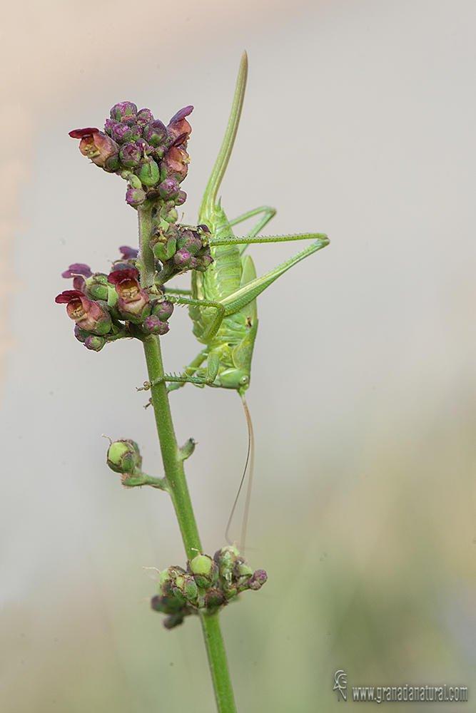 Scrophularia arguta y saltamontes verde