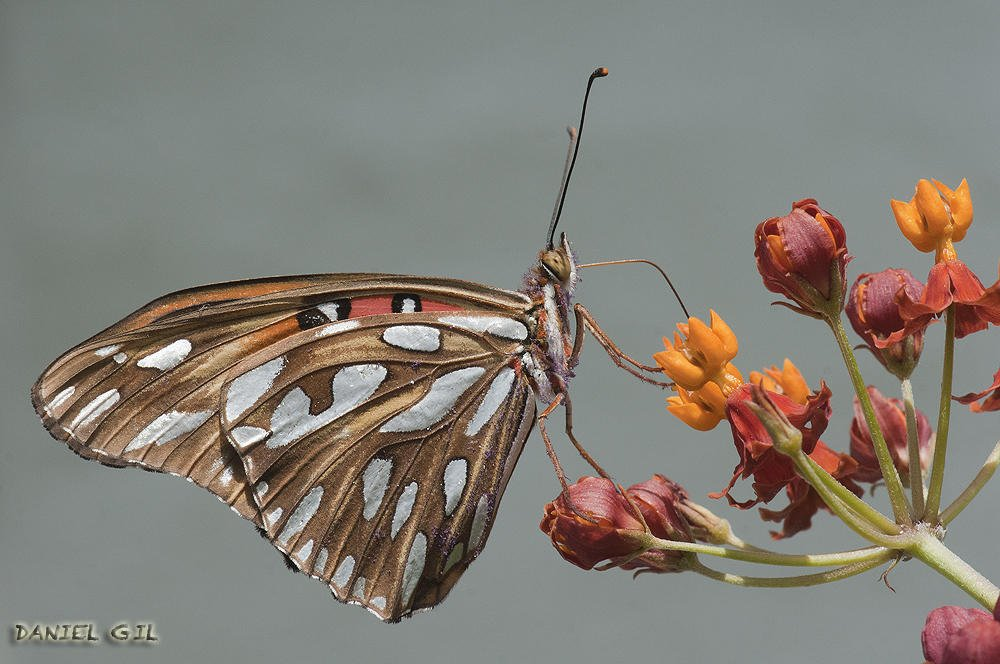 simple mariposa .... (Daniel Gil)