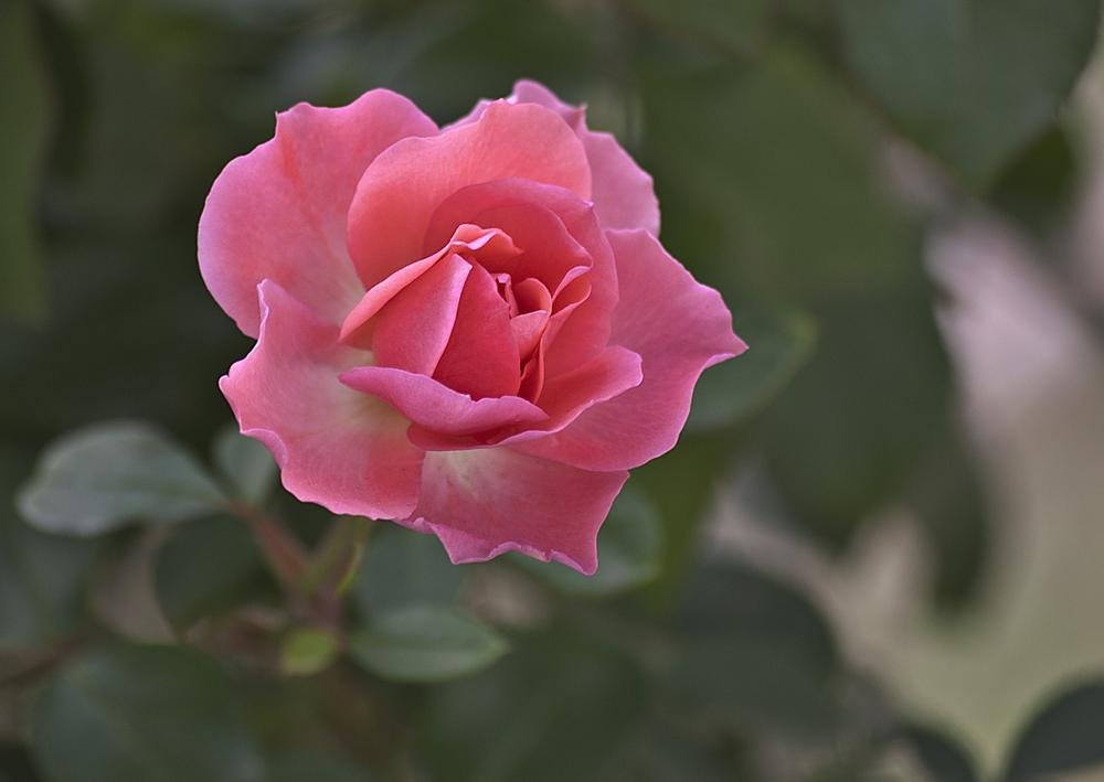 Simplemente una rosa (Carmen Iarzabal)