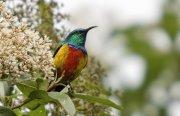 Suimanga real (Regal Sunbird)