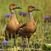 Suirirí bicolor (Fulvous Whistling-duck)