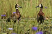 Suirirí cariblanco (White-faced Whistling-duck)