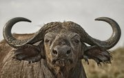 Synceramente cafre (Búfalo africano)