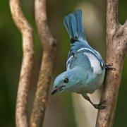 Tangara azuleja (Blue-grey Tanager)
