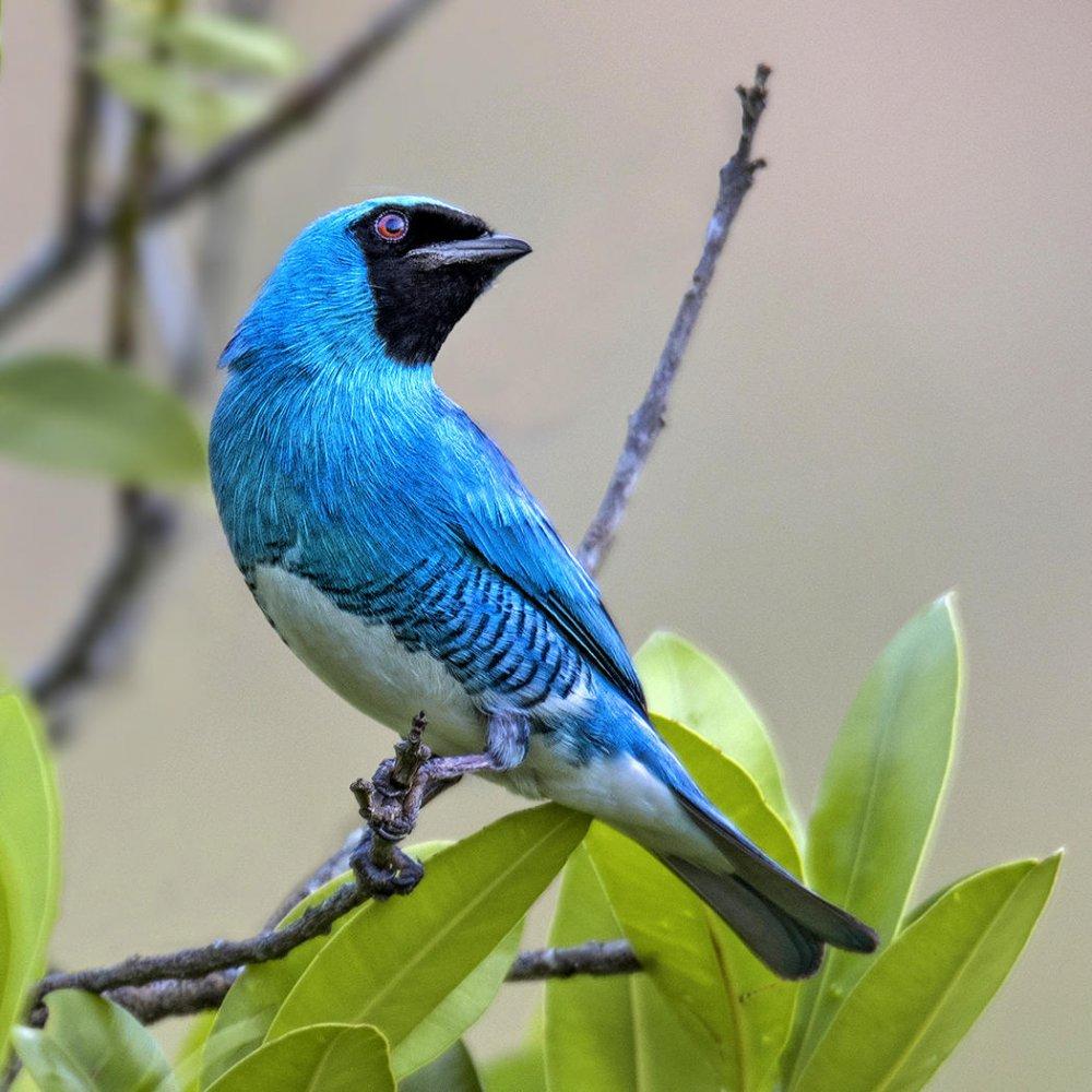 Tangara golondrina (Swallow Tanager)