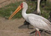 Tántalo africano (Yellow-billed Stork)