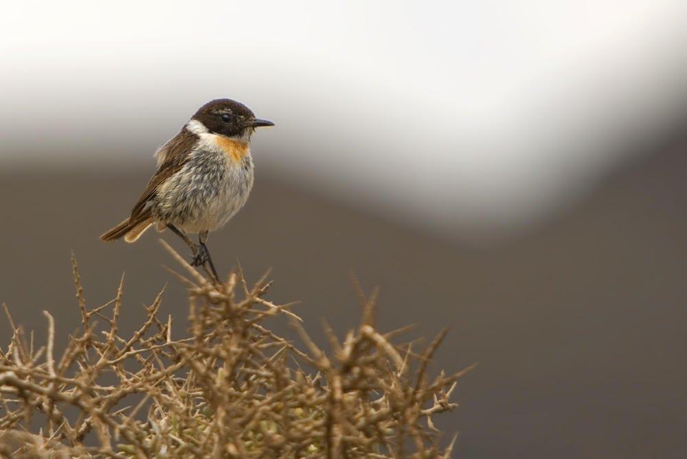 Tarabilla canaria (Fuerteventura Stonechat) (Salvador Solé Soriano)