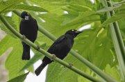 Tejedor de Vieillot (Vieillot´s Black Weaver)
