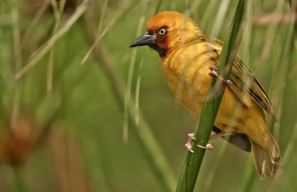 Tejedor gorjipardo norteño (Northern Brown-throated Weaver) (Salvador Solé Soriano)