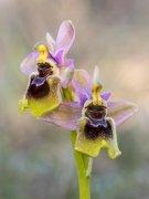 Tiempo de orquídeas, no todo es Islandia.