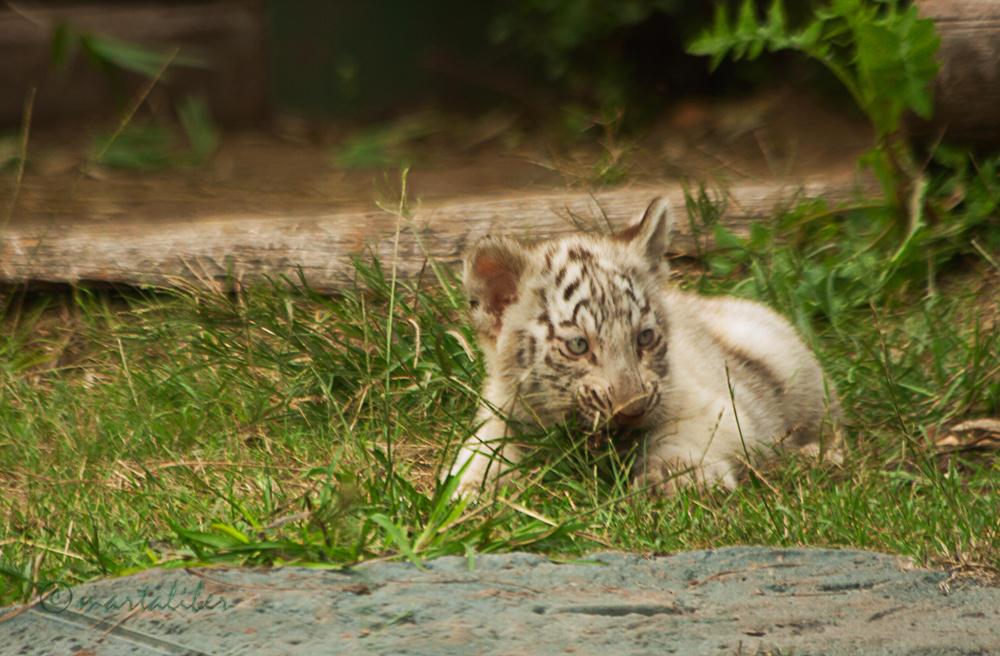 Tigre Blanco (marta Liber)