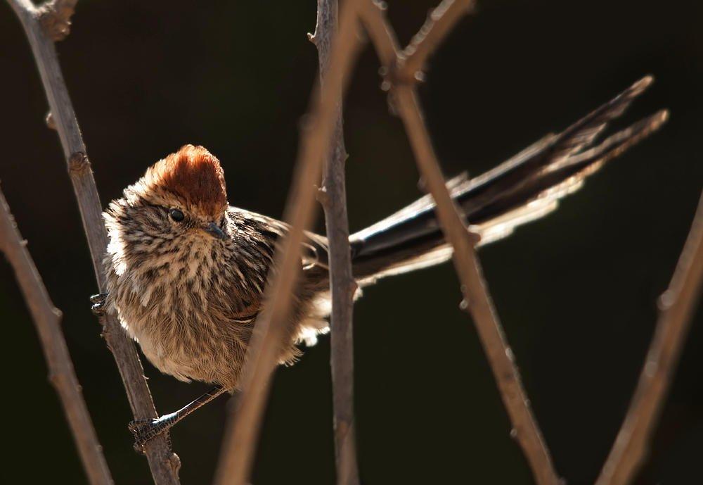 Tijeral coronado (Rusty-crowned Tit-spinetail) (Salvador Solé Soriano)
