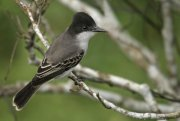 Tirano guatíbere (Loggerhead Kingbird)