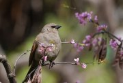 Tordo Músico en Primavera ((Agelaioides badius)