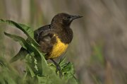 Tordo pechiamarillo (Brown-and-yellow Marshbird)