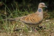 Tórtola europea (European Turtle-dove)
