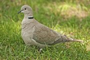 Tórtola turca (Eurasian Collared-dove)