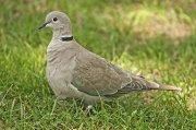Tórtola turca (Eurasian Collared-dove)