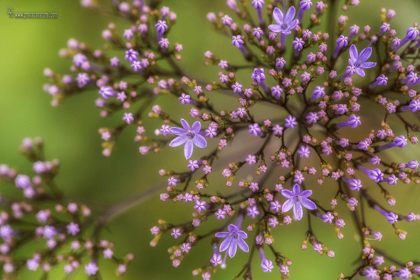 Trachelium caeruleum ( Flor de la viuda) (Lucas Gutierrez Jiménez)