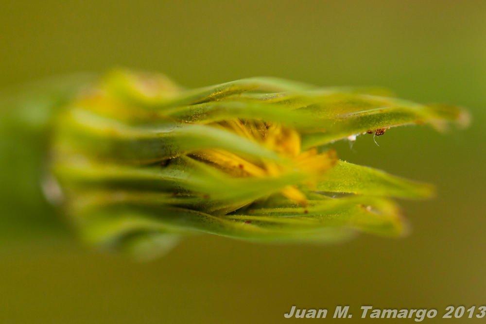 Tragopogon pratensis (Juan Manuel Tamargo Gutierrez)