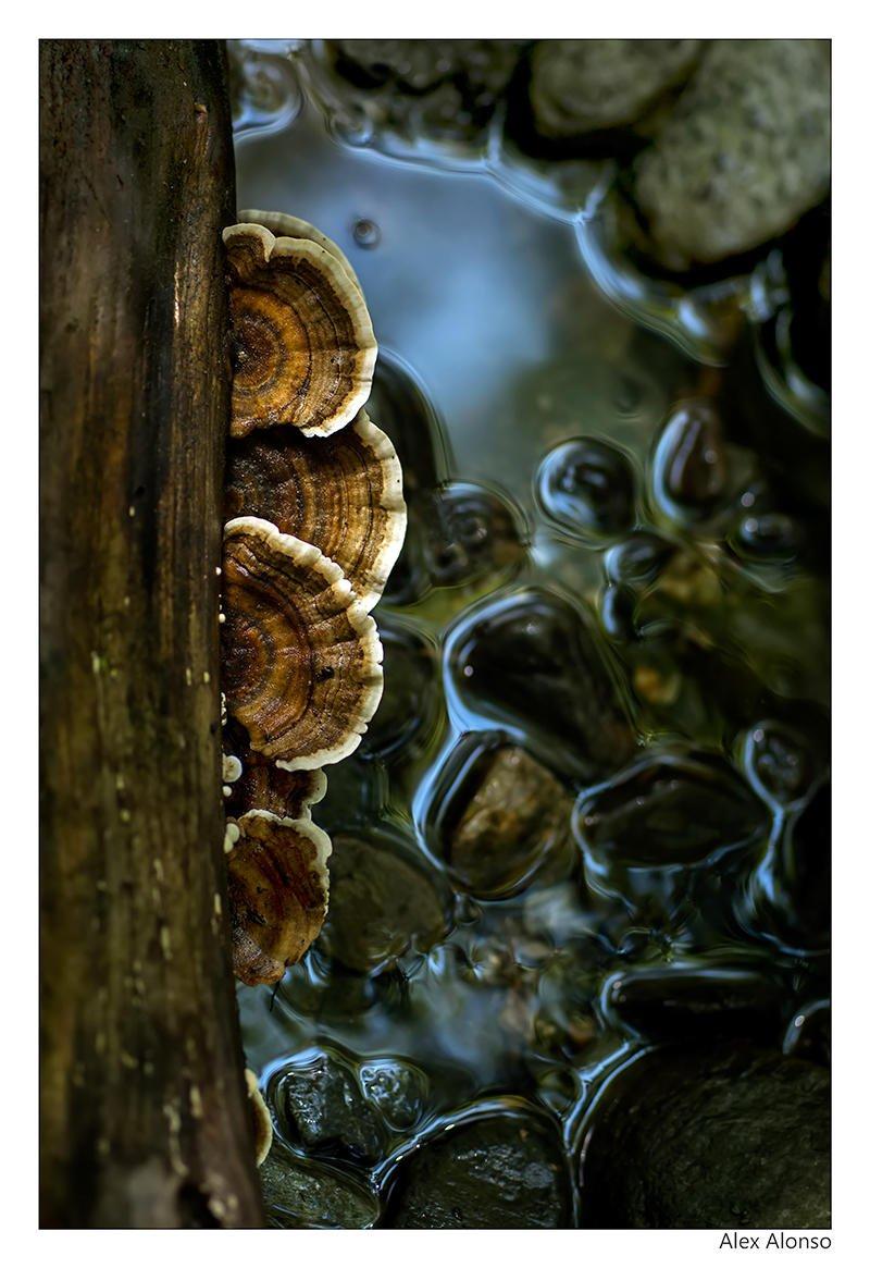 Trametes versicolor (Alex Jaleo)