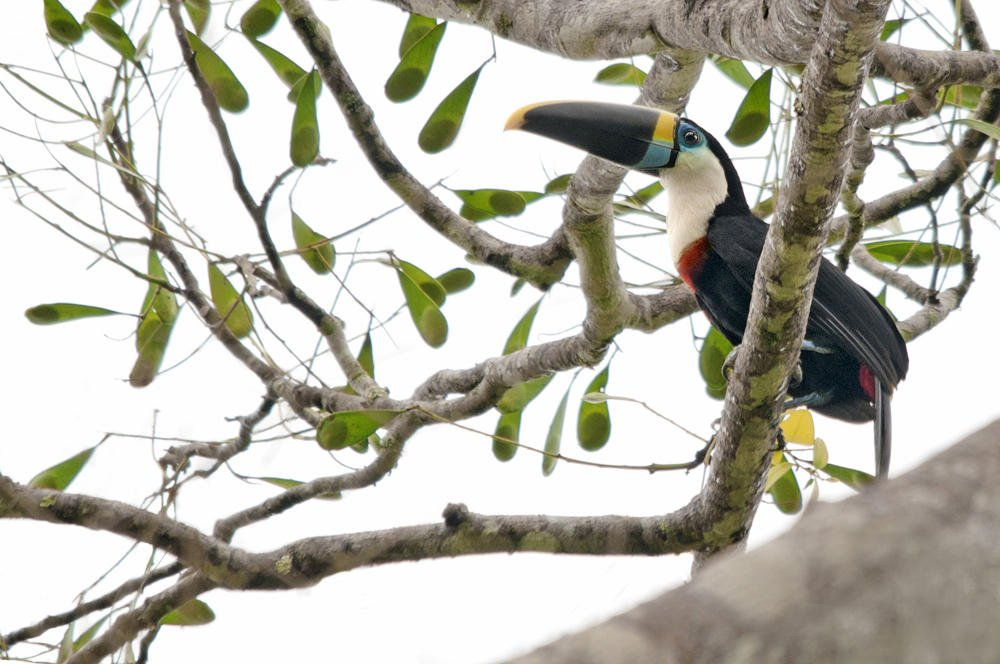 Tucán pechiblanco (White-throated Toucan) (Salvador Solé Soriano)