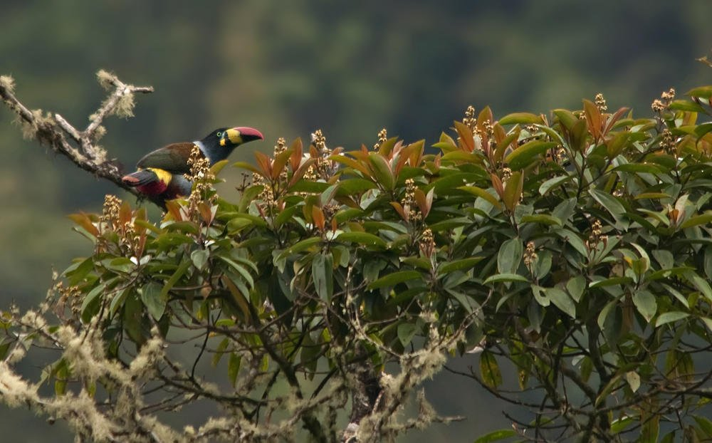 Tucán pechigrís (Grey-breasted  Mountain-toucan) (Salvador Solé Soriano)