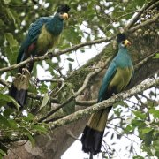 Turaco gigante (Great Blue Turaco)