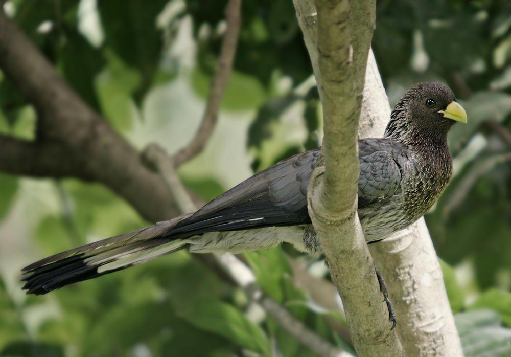 Turaco gris oriental (Eastern Plantain-eater) (Salvador Solé Soriano)