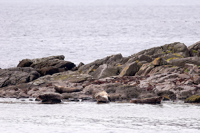 Un grupo de focas. Islandia 96. (david Pérez Hens)