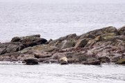 Un grupo de focas. Islandia 96.