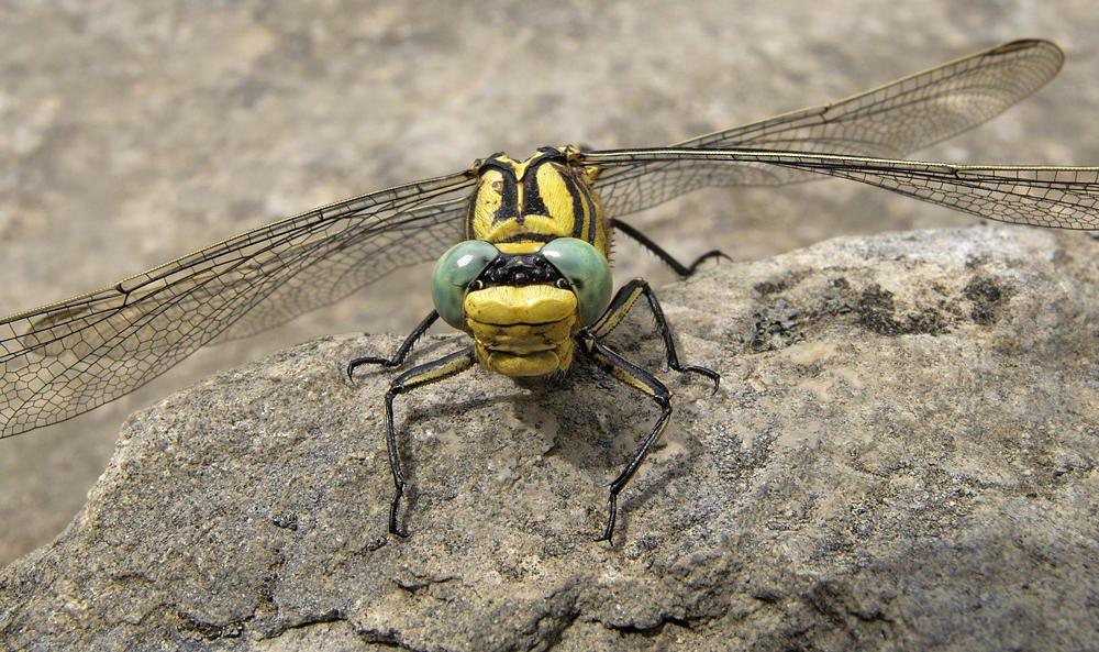 Onychogomphus uncatus (macho) (Salvador Solé Soriano)